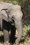 asian, asiatic or indian elephant elephant (elephas maximus), female, feeding - stock photo