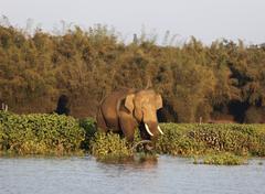 asian, asiatic or indian elephant (elephas maximus), male, kabini reservoir,  - stock photo