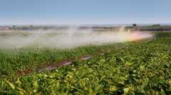 Irrigation of vegetables into the field - stock footage
