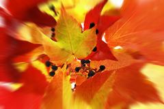 Stock Photo of virginia creeper in autumn colors, zoom effect