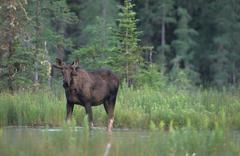 Young moose (alces alces), bull in velvet, growing antlers, antler deformatio Stock Photos