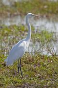 great egret or great white heron (casmerodius albus), chobe national park, bo - stock photo