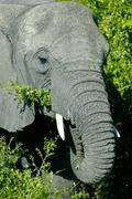 African elephant (loxodonta africana), okavango delta, botswana, africa Stock Photos