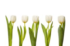 white tulips in a row - stock photo