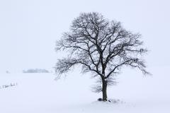 Single english oak or pedunculate oak (quercus robur) in winter fog and snow, Stock Photos