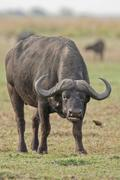 Stock Photo of african buffalo (syncerus caffer), chobe national park, botswana, africa