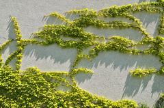 japanese creeper, boston ivy, grape ivy, japanese ivy, and woodbine (partheno - stock photo
