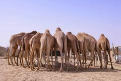 eight camels standing at a watering place, seen from behind, desert near abu  - stock photo