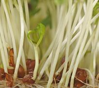 Stock Photo of watercress (rorippa nasturtium-aquaticum), cultured
