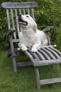 Golden retriever on a deck chair Stock Photos