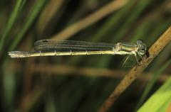 emerald damselfly or common spreadwing (lestes sponsa), female - stock photo