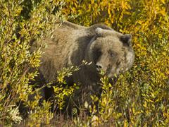 Grizzly bear (ursus arctos), feeding near haines junction, indian summer, lea Stock Photos
