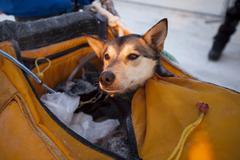Injured or tired sled dog in sled bag, alaskan husky, dawson city, yukon ques Stock Photos