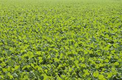 Winter oilseed rape, hibernating, frost-resistant green manure plant, enhance Stock Photos