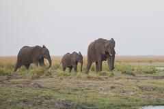Stock Photo of elephants (loxodonta africana), chobe national park, botswana, africa