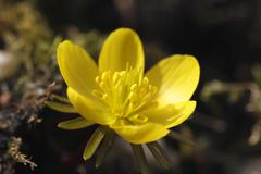 Flower of winter aconite (eranthis hyemalis), early flowering in late winter  Stock Photos