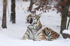 Siberian tiger or amur tiger (panthera tigris altaica), winter, enclosure Kuvituskuvat