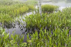 Purple flowers in marsh near Raquette Lake Stock Photos