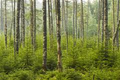 Adirondacks living forest - stock photo