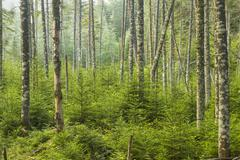 living evergreen forest - stock photo