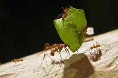 Leafcutter ant (atta cephalotes) carrying a piece of a leaf and smaller ants  Stock Photos