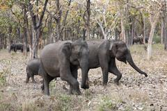 Stock Photo of elephants in the forest, asian or asiatic elephant (elephas maximus), mudumal