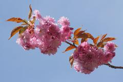 Stock Photo of japanese cherry or oriental cherry (prunus serrulata), flowering branch again