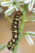 Caterpillar of the cherry spot moth or lily borer (diaphone eumela), namaqual Stock Photos