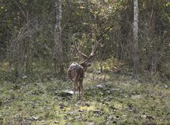 Male axis deer, spotted deer, chital or cheetal (axis axis), rajiv gandhi nat Stock Photos