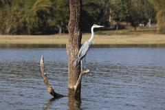 heron (ardeidae), kabini reservoir, rajiv gandhi national park, nagarhole nat - stock photo