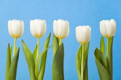 White tulips in a row Stock Photos