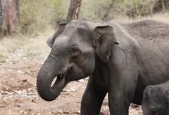 asian, asiatic or indian elephant (elephas maximus), rajiv gandhi national pa - stock photo