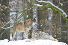 Mackenzie valley wolf, alaskan tundra wolf or canadian timber wolf (canis lup Stock Photos