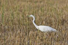 Great egret (casmerodius albus), illmitz, burgenland, austria, europe Stock Photos