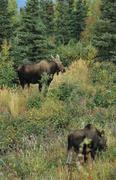 moose cows (alces alces) in the fall, alaska, usa - stock photo