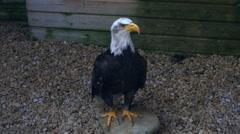 Bald Eagle in captivity Stock Footage