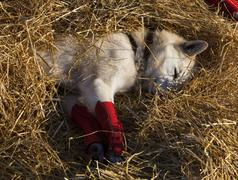 Resting sled dog, foot bandages, alaskan husky, straw, pelly crossing checkpo Stock Photos