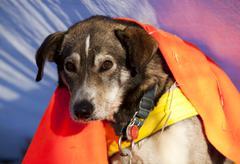 Resting sled dog, alaskan husky, blanket, dawson city, yukon quest 1, 000-mil Stock Photos