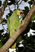 turquoise-fronted amazon or blue-fronted parrot (amazona aestiva) feeding on  - stock photo