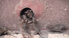 Rat temple Stock Footage