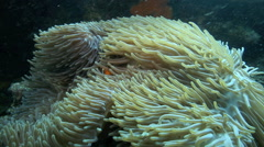 Anemonefish hiding in anemone Stock Footage