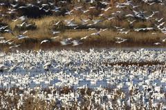 Snow geese (anser caerulescens atlanticus, chen caerulescens) wintering in th Stock Photos