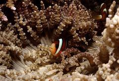 Clarks anemonefish (amphiprion clarkii, heteractis aurora), bali, indian ocea Stock Photos
