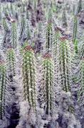 cacti on the islas chorros, chile, south america - stock photo