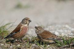 linnet (carduelis cannabina), female, right, begging male for food, courtship - stock photo