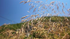 Tall Wild grass in blowing summer breeze _ shallow depth of field Stock Footage