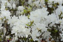 White azalea shrub Stock Photos