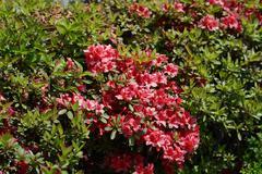 Red azalea shrub Stock Photos