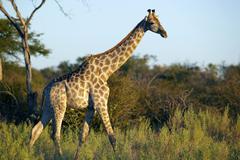 angolan giraffe or smoky giraffe (giraffa camelopardalis angolensis), okavang - stock photo