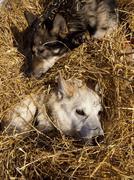 Resting sled dogs, alaskan huskies, straw, pelly crossing checkpoint, yukon q Stock Photos